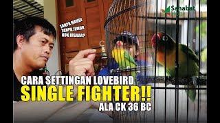 Download lagu Setingan Lovebird Single Fighter Ala CK36