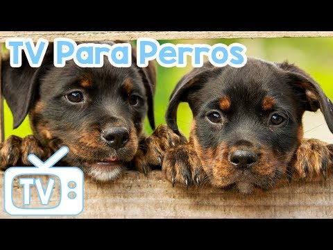 Dog Music TV: videos para perros para ver y relajarse! ¡Ayuda a tu perro a dormir con TV y música!