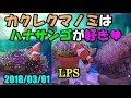 カクレクマノミはハナサンゴが大好き♡ (115) 2018/03/01 【Aquarium】