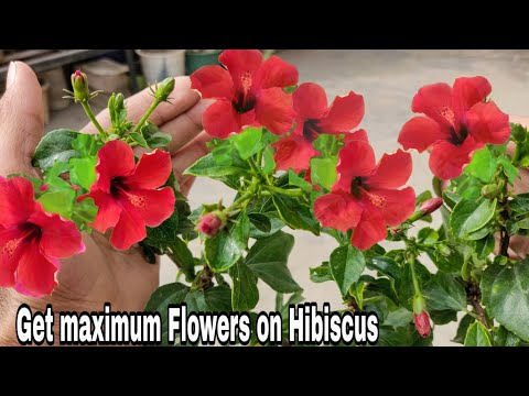 How to get maximum flower from hibiscus, 100% Maximum blooming on hibiscus