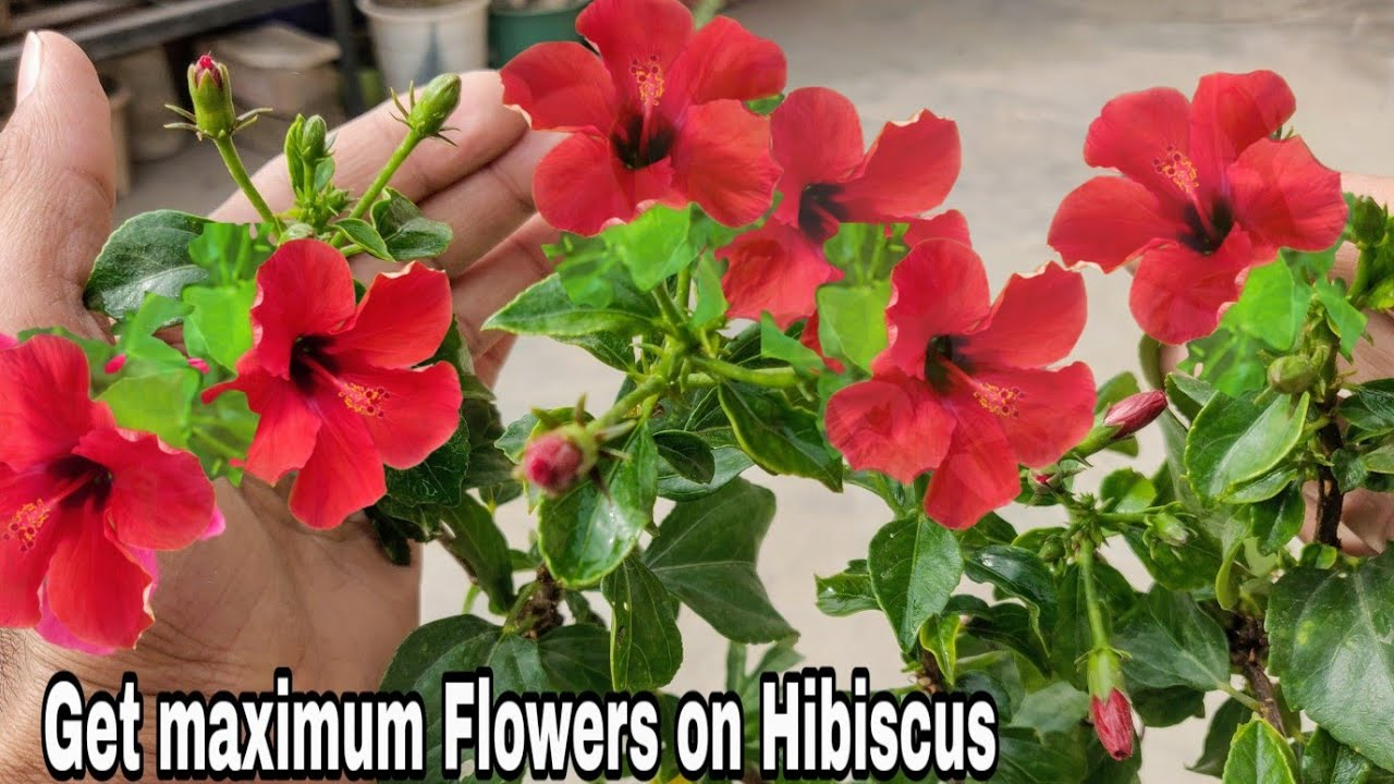 Download How to get maximum flower from hibiscus, 100% Maximum blooming on hibiscus