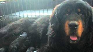 Real Tibetan Mastiff Puppies in China !! How Great !! 本物の中国の...