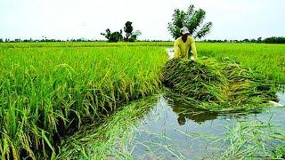 কুড়িগ্রামে বন্যায় ক্ষতিগ্রস্ত ২০ হাজার কৃষক   Kurigram News   Somoy TV