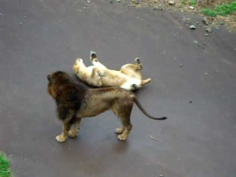 Black Lions Mating - YouTube