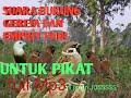 Suara Burung Gereja Dan Emprit Padi Untuk Pikat Full  Mp3 - Mp4 Download