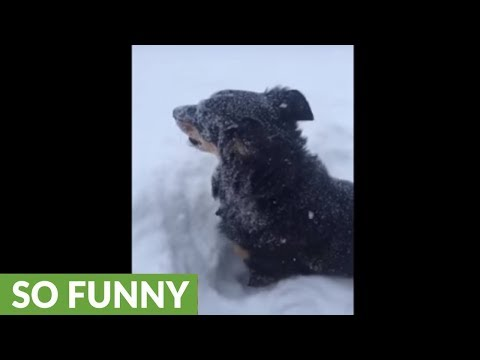 Jumping dog can't contain happiness for snow playtime