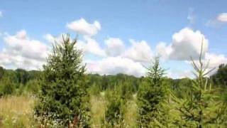 Great trees arbs and Pines