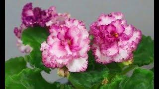 Домашний Цветочный Бизнес ! Цветы на продажу, сорта глоксиний и фиалок