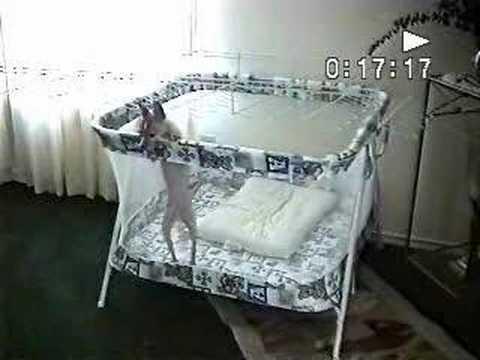 Chihuahua Escape Mission Impossible