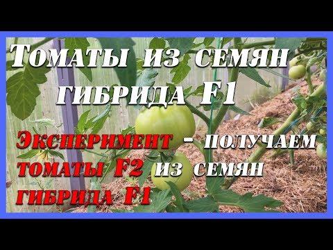 Гибрид помидора из F1 в F2