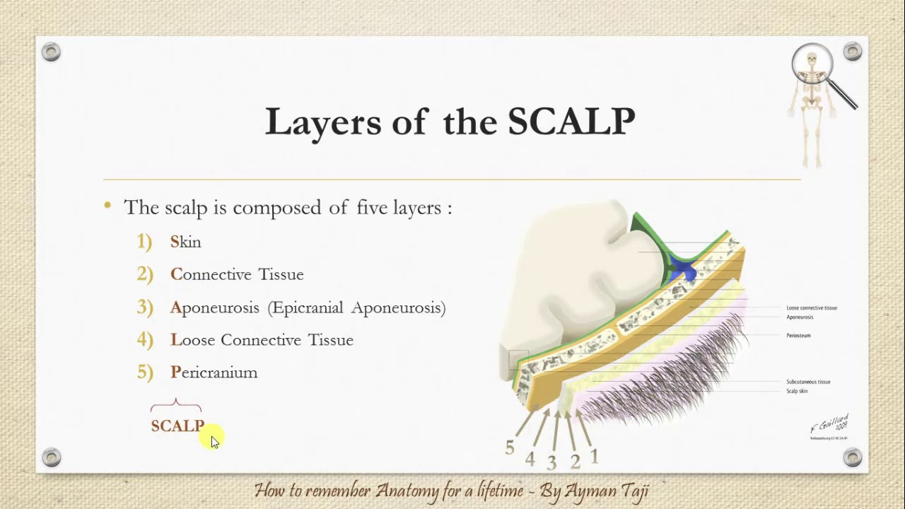 Scalp Meninges Anatomy Mnemonics How To Remember Anatomy For A