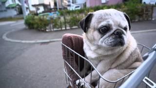パグを自転車のかごに乗せてみました。 最初はぷるぷる震えていましたが...
