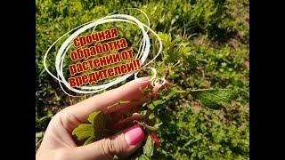СРОЧНАЯ обработка кустарников и деревьев от вредителей!! ЧЕМ обработать??
