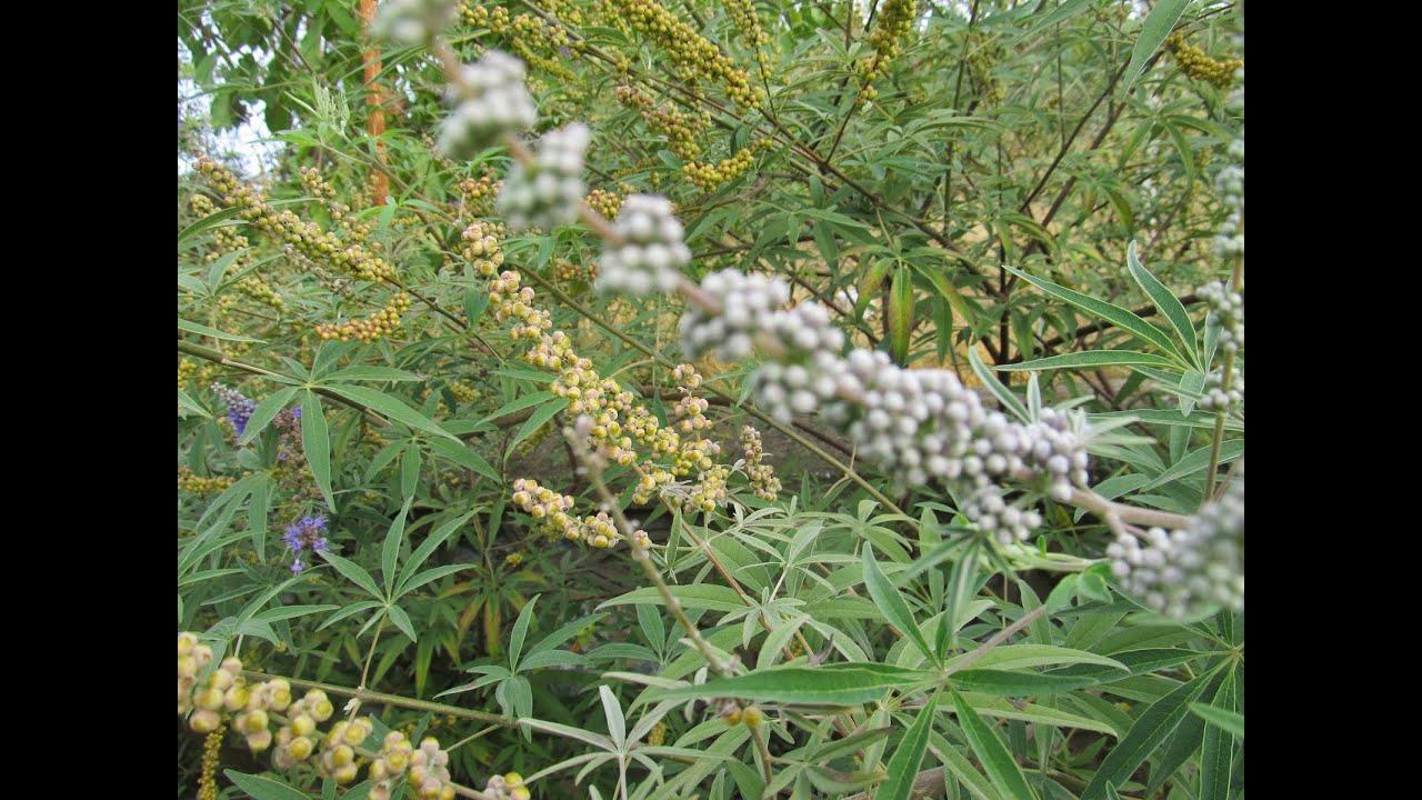 Stevia(Şeker Otu) Ne İşe Yarar Nerelerde Kullanılır