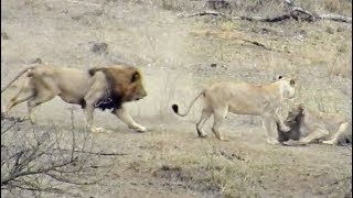 male-lion-rescues-warthog-from-other-lions