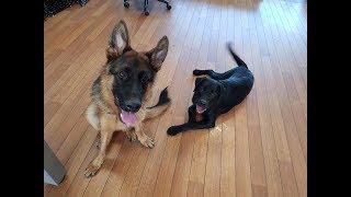 Ylvis Labrador Retriever puppy vs German Shepherd playing in the office!