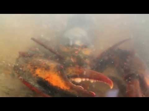 True Facts about the American Lobster