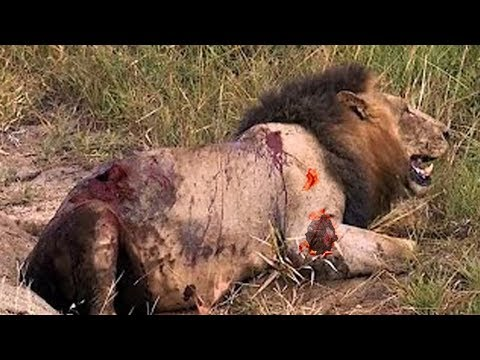African Buffalo Kills Lion - Animal Fight To The Death