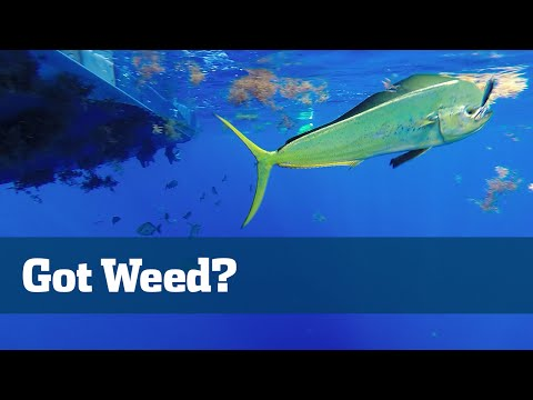 Florida Sport Fishing TV - Pro's Tip Weedlines Offshore Dolphin Fishing