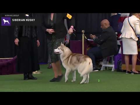 Siberian Huskies | Breed Judging 2020