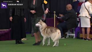 Siberian Huskies | Breed Judging 2020