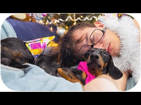 Christmas hangover! Funny dachshund dog video!