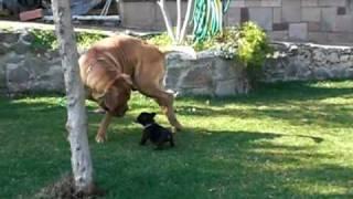 Puppy   French Bulldog Vs Dogue De Bordeaux....fight
