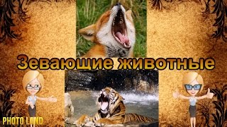 Зевающие животные || PHOTO LAND (животные, зубы, пасть, зевание)