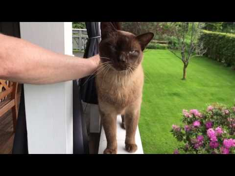 Burmese cat in Norwegian Forest (Home)