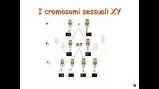 Genetica (4/6): cromosomi sessuali x,y