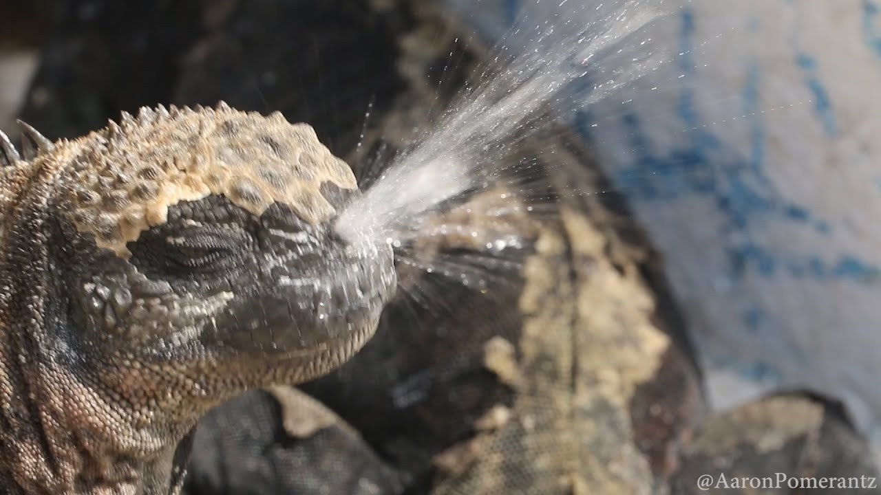 Uncovering the Mystery of the Sneezing Galápagos Iguana