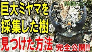 クワガタ&カブトムシ☆昆虫採集2017 巨大ミヤマクワガタの樹をどうやっ...