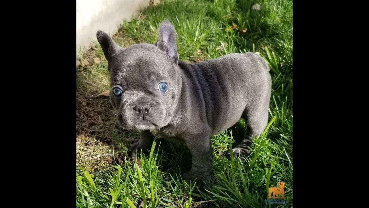 french bulldog girl blue eyes / blue triple carrier chocolate / blue and at  / 6 weeks old