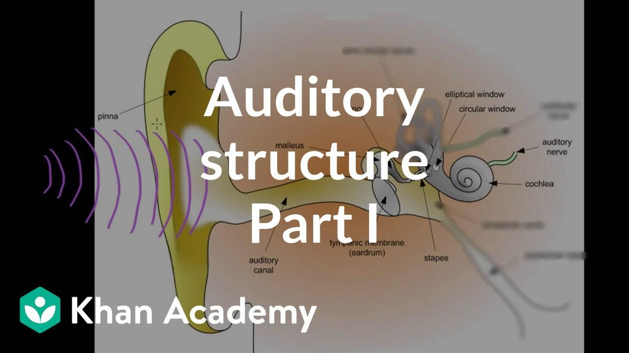 Auditory structure - part 1 (video) | Khan Academy