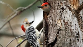 Red-bellied Woodpecker Leaving Nest