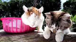 猫の額のアマガエル、梅雨明けの夏の季節の風物詩