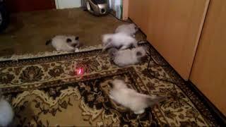 ПРОДАЖА котята RagDoll Кошка кукла 027