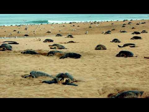 Travel Guide  - information  about Velas Turtle Festival at Velas beach in Ratnagiri