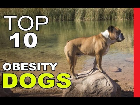 top-dog-breeds-most-prone-to-obesity-part-1