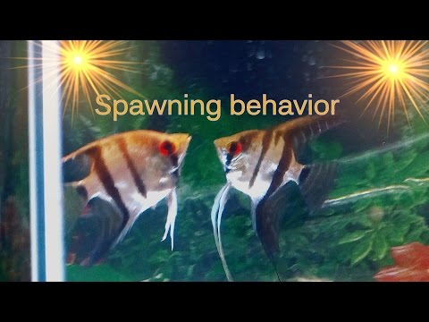 Tips On Angelfish Spawning Behavior