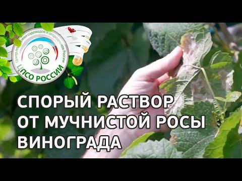 Средство от мучнистой росы на винограде. Болезни и лечение винограда. | обработать | обработка | мучнистой | виноград | лечение | болезнь | россии | оидиум | огород | защита
