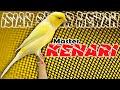 Masteran Kenari Juara Nasional New  Isian Super Mewah  Mp3 - Mp4 Download