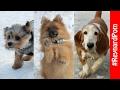 Yorkie VS Pomeranian VS Basset Hound
