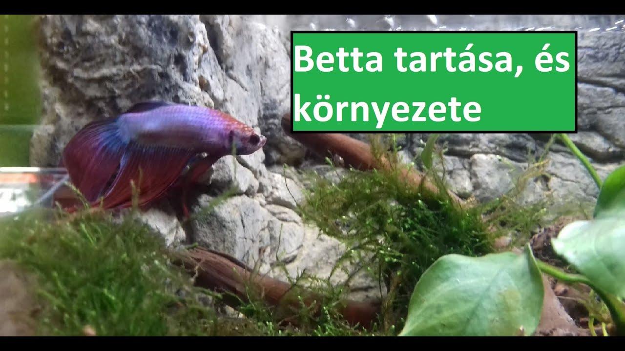 Betta belső paraziták