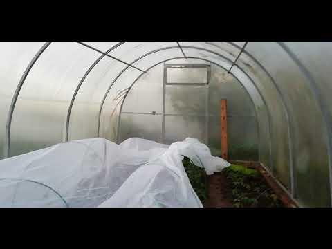Будут заморозки, как спасти помидоры в теплице?