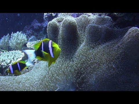 【HD】 PALAU ~South Rock Island~ | パラオ・美しい海で暮らす魚たち