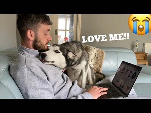 Hilarious Husky Refuses To Let Me Work From Home! [NEEDY PUPPY!]