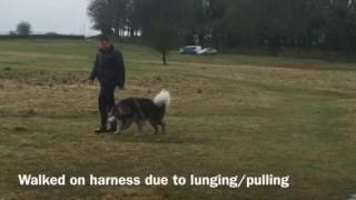 Alaskan Malamute - Dog training foundation stages for freedom