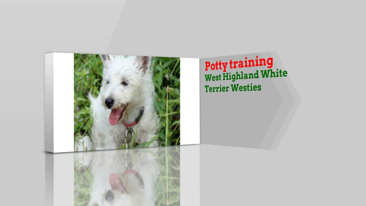 Modernistyczne How to Potty Train West Highland White Terrier Westies! - YouTube JW84