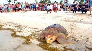 Thousands Cheer On Rescued Sea Turtles in Florida as They Return to the Ocean